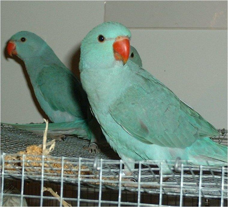 Ringneck Parrot : 7 Wonderful African Ringneck Parrot ...