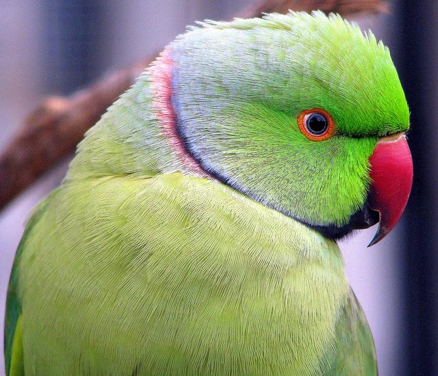 Indian Green Parrot Baby Ringneck : 7 Wonderful...