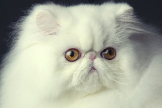 San Diego Cat Fanciers , 9 Cute Persian Cat San Diego In Cat Category