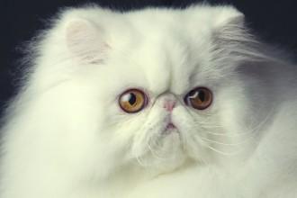 San Diego Cat Fanciers , 9 Cute Persian Cat San Diego In Cat Category