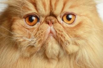 san diego cat fanciers in Mammalia