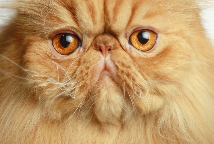 Cat , 8 Charming Persian Cats San Diego : San Diego Cat Fanciers
