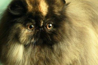 San Diego Cat , 8 Charming Persian Cats San Diego In Cat Category