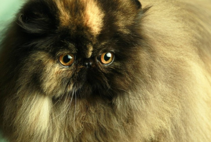 Cat , 8 Charming Persian Cats San Diego : San Diego Cat
