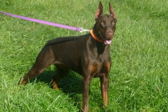 Scottish Terrier , 7 Cool Kimbertal Doberman Puppies In Dog Category