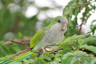 Senegal Parrot , 7 Beautiful Monk Parrots In Birds Category
