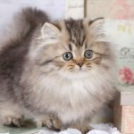 shaded golden teacup rug hugger persian , 7 Cute Teacup Persian Cat For Sale In Cat Category