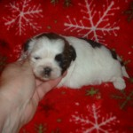 shih tzu puppies , 7 Cool Maltese Puppies For Sale In Augusta Ga In Dog Category