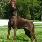 shih tzu puppies , 7 Cool Kimbertal Doberman Puppies In Dog Category