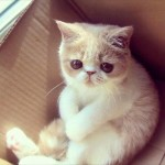 short hair persian kitten , 8 Good Short Haired Persian Cat In Cat Category