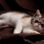 short hair persian , 8 Good Short Haired Persian Cat In Cat Category