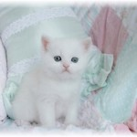 short haired Persians , 8 Good Short Haired Persian Cat In Cat Category