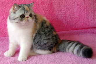 Shorthair Persian Kittens , 7 Cute Persian Shorthair Cat In Cat Category