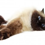 siamese cat , 9 Cute Persian Himalayan Cat Rescue In Cat Category