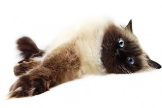 Siamese Cat , 9 Cute Persian Himalayan Cat Rescue In Cat Category