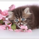 siamese cats , 8 Cool Teacup Persian Cat Price In Cat Category
