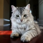 siberian cat , 9 Cute Persian Cats Hypoallergenic In Cat Category