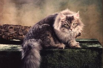 Siberian Cat , 5 Nice Persian Cat Hypoallergenic In Cat Category