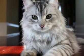 Siberian Cat Hypoallergenic , 5 Nice Persian Cat Hypoallergenic In Cat Category