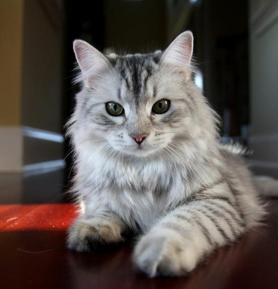 Cat , 9 Cute Persian Cats Hypoallergenic : Siberian Cat