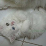 siberian cat , 7 Gorgeous Doll Face Persian Cats For Sale In Cat Category