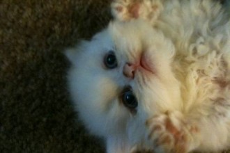 Similarfind Miami Persian , 5 Charming Persian Cats For Sale In Miami In Cat Category