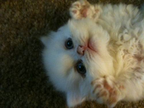 Persian cat for sale in miami