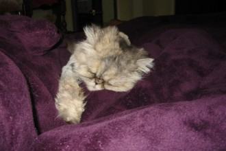 Stuffy Nose On My Persian , 9 Fabulous Persian Cats And Allergies In Cat Category