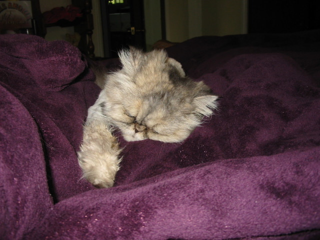 Cat , 9 Fabulous Persian Cats And Allergies : Stuffy Nose On My Persian