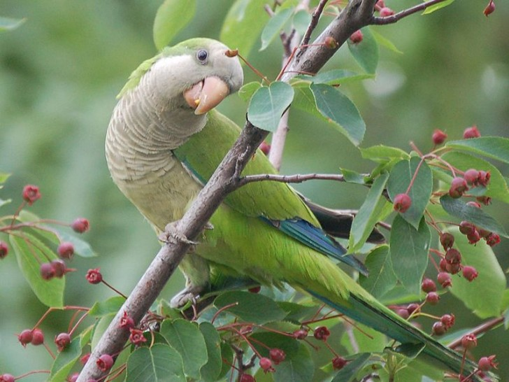 Birds , 7 Nice Quaker Parrots : Talking Parrot