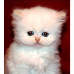 teacup Persian , 8 Cool Tea Cup Persian Cats In Cat Category