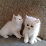 teacup persian kittens , 4 Top Persian Cat For Sale Los Angeles In Cat Category