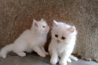 teacup persian kittens in Decapoda