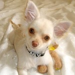 the Chihuahua Pictures , 8 Cute Chiuaua Puppies For Sale In Pa In Dog Category