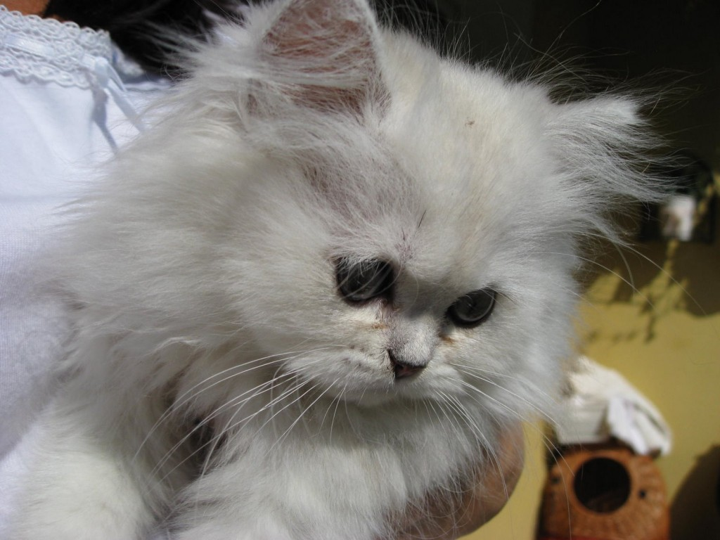the chinchilla persian