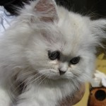 the chinchilla persian , 8 Lovely Persian Chinchilla Cat In Cat Category