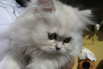 the chinchilla persian in Butterfly