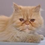 the persian cat , 9 Cute Persian Cat Health Issues In Cat Category