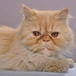 the persian cat , 8 Good Persian Cat Health Problems In Cat Category