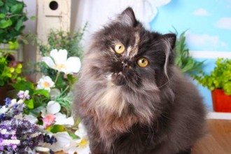 Tortoiseshell Persian , 7 Popular Tortoiseshell Persian Cat In Cat Category
