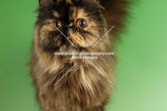 tortoiseshell persian cat in Plants