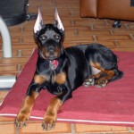 warlock doberman , 8 Cool Warlock Doberman Puppies For Sale In Dog Category