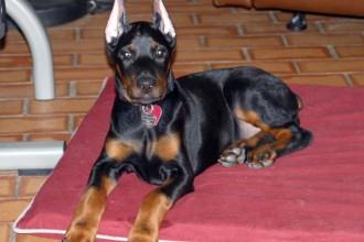 Warlock Doberman , 8 Cool Warlock Doberman Puppies For Sale In Dog Category