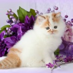 white Bicolor Persian kittens , 8 Wonderful Toy Persian Cats In Cat Category