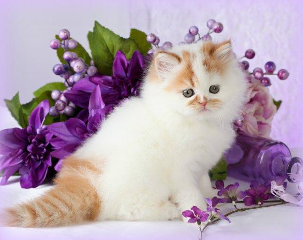 Cat , 8 Wonderful Toy Persian Cats : White Bicolor Persian Kittens