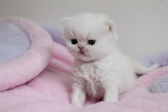 White Persian Kittens , 8 Cool Adopt A Persian Cat In Cat Category