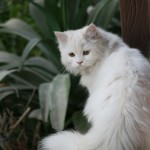 white cat picture , 8 Charming Different Types Of Persian Cats In Cat Category