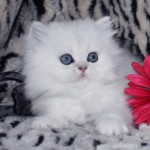 white chinchilla teacup , 8 Cool Tea Cup Persian Cats In Cat Category