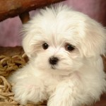 white doggies , 9 Nice Puppies For Sale In Wheeling Wv In Dog Category