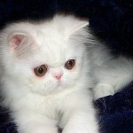 white persian , 7 Cute Miniature Persian Cat In Cat Category